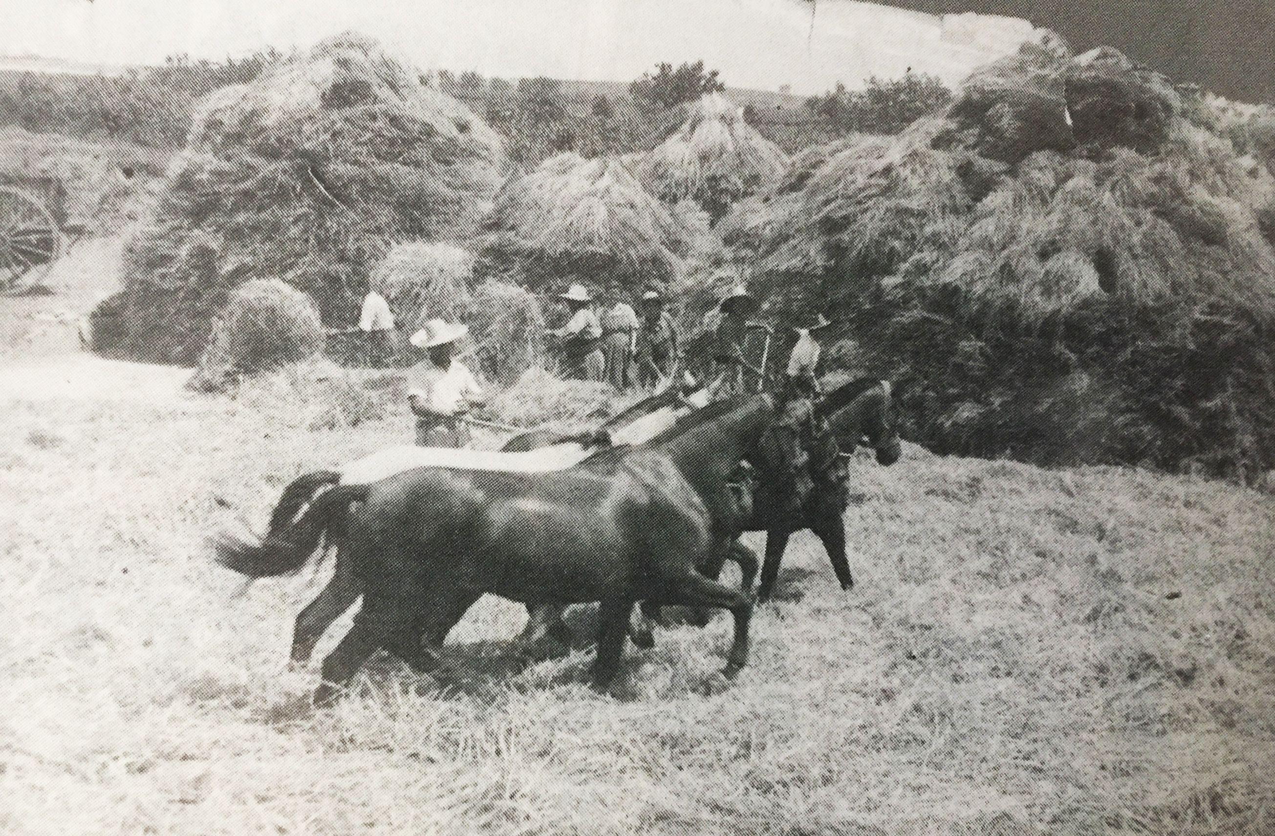 Batent un camp de blat, 1943 (Cedida per Joan Escorsell, %22Xamarrillo%22)