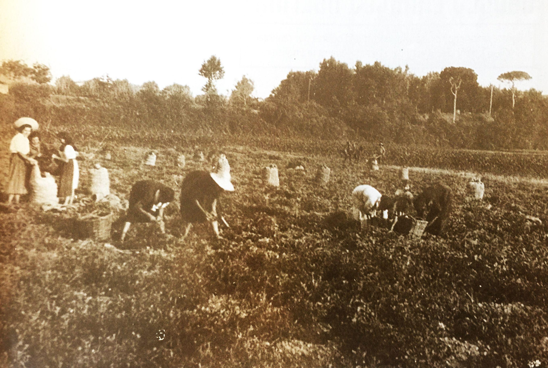 Recollint patates a Cordelles (Cerdanyola) (TOT Cerdanyola, 384)
